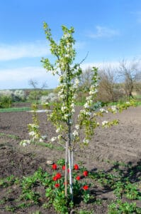 Grow cherry tree