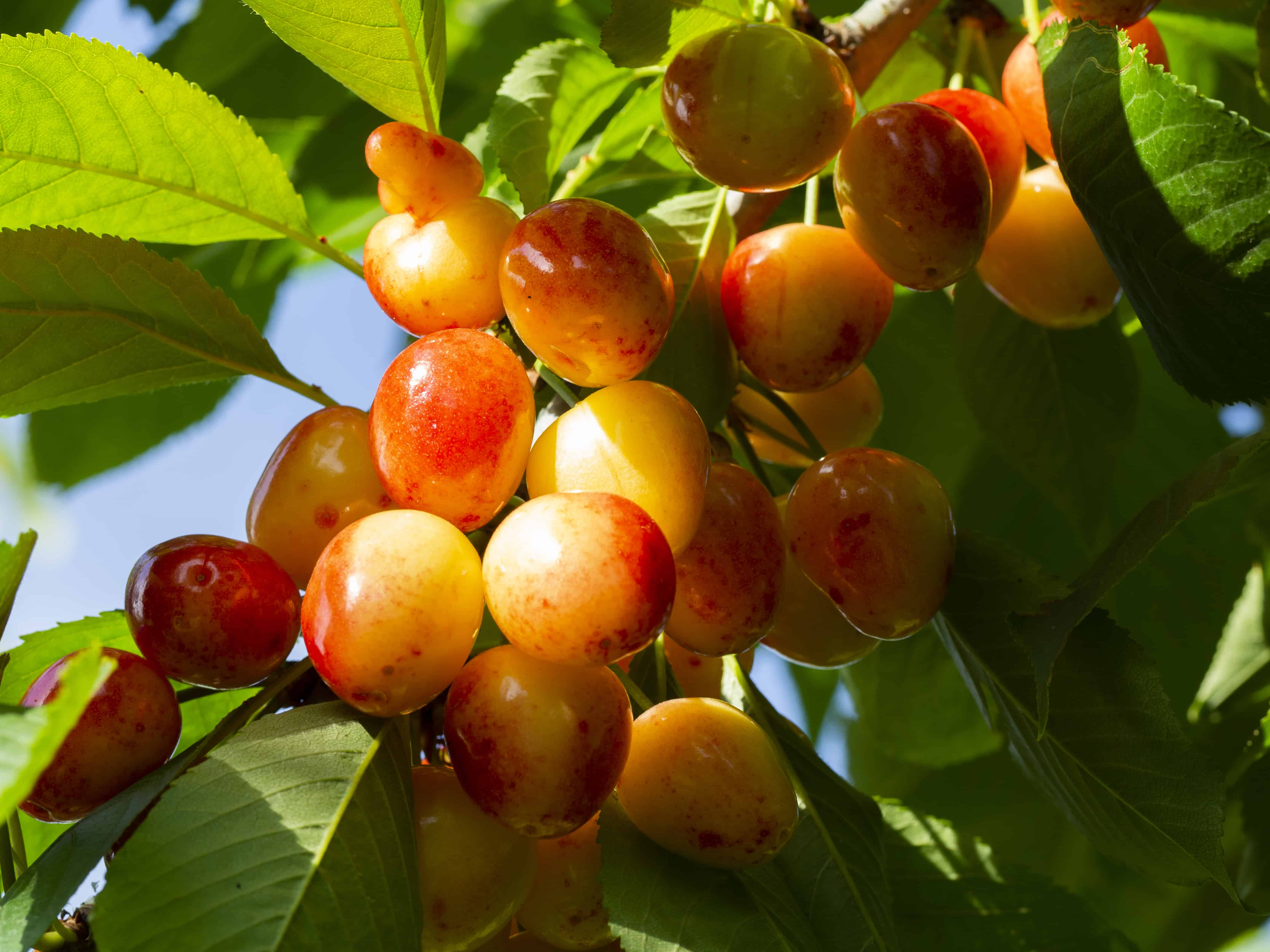 How To Plant Grow Prune And Harvest Cherries Harvest To Table