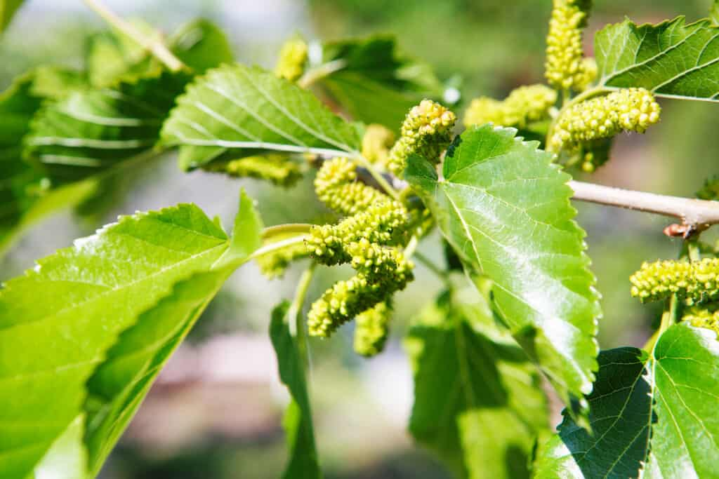 Mulberry flowering