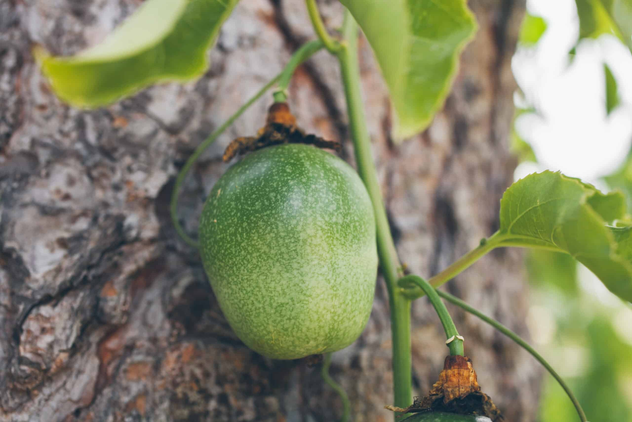grow passion fruit