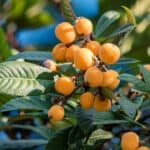 How to grow loquats