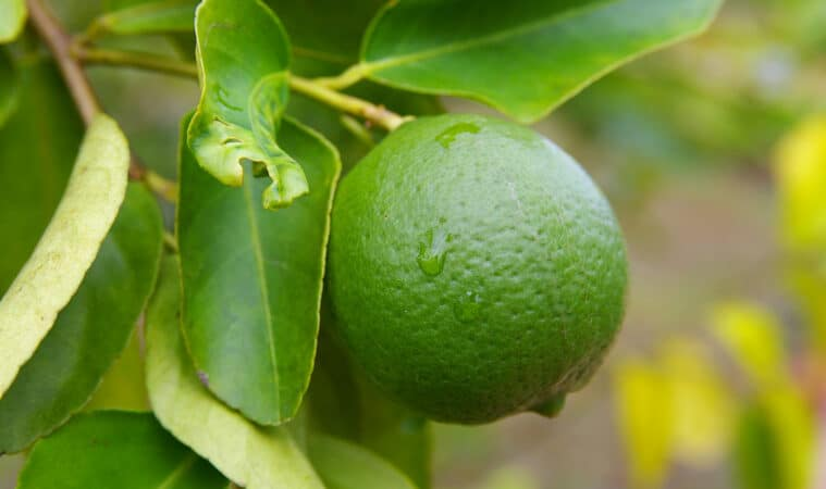 grow lime trees