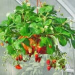 Strawberry plant in container