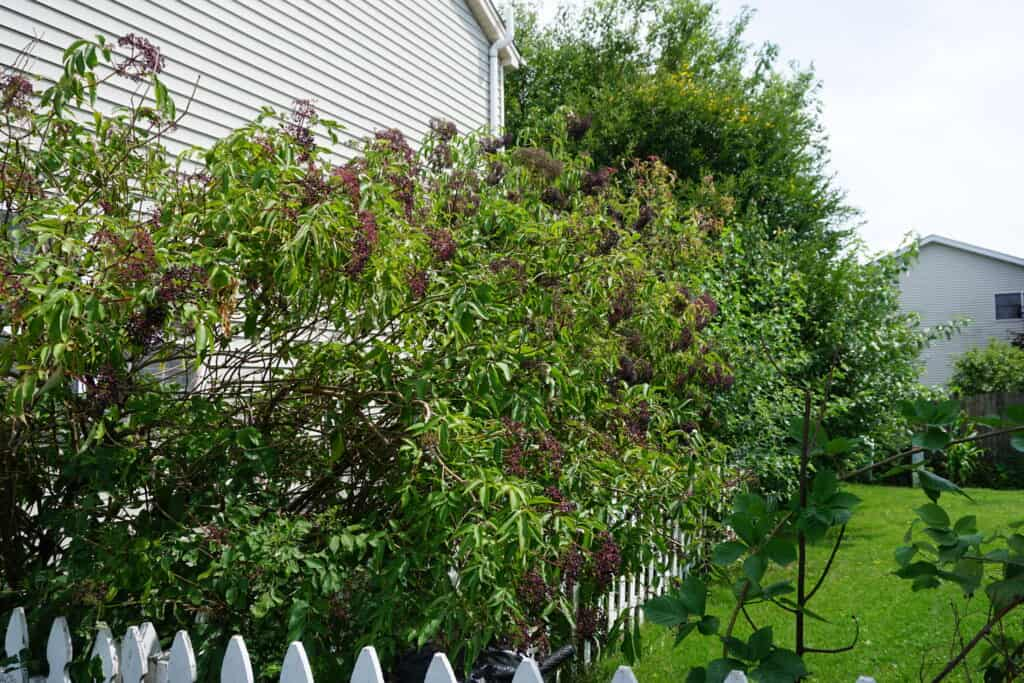 growing elderberry bushes