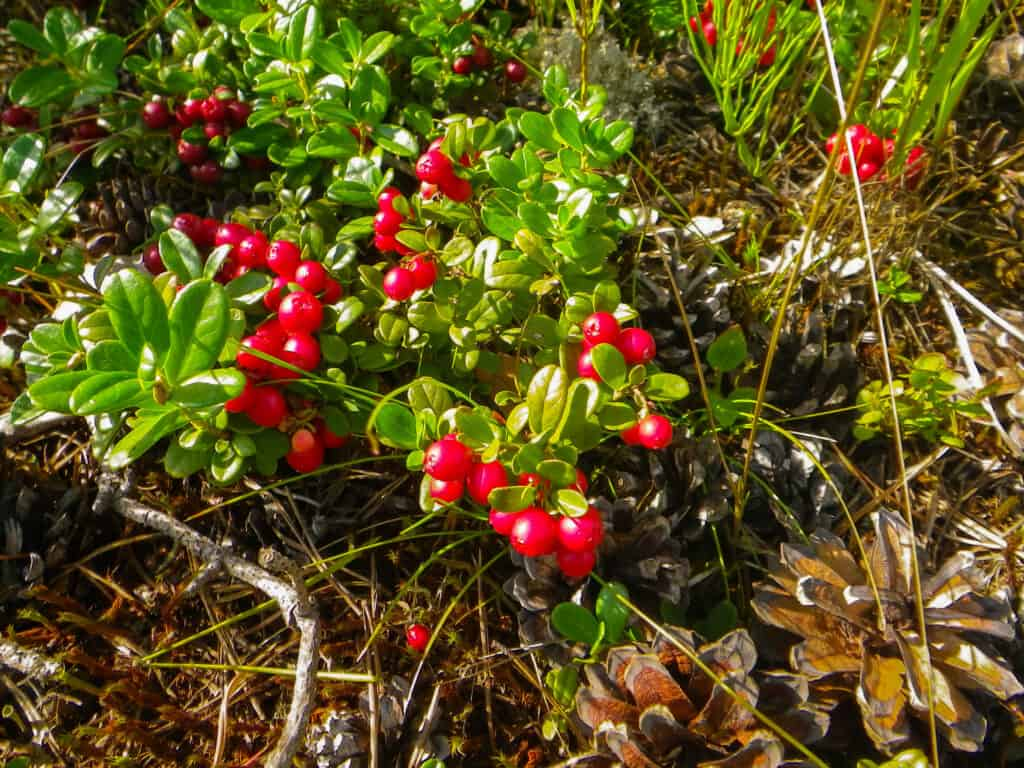 Grow cranberries