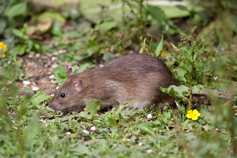 Brown rat in the garden